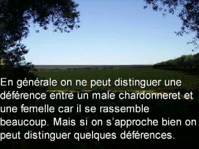 Distinction entre les deux sexes, chardonneret mâle et femelle