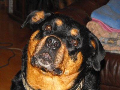 hommage au meilleur rottweiler au monde. ma fifille