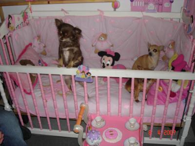 Les Chihuahuas D 39 Isabelle Suite Lindapotes Officiel