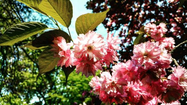 Prunus serrulata 'Japanese Cherry'