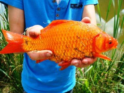 mon carassin orange !