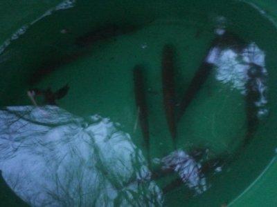pêche des vifs