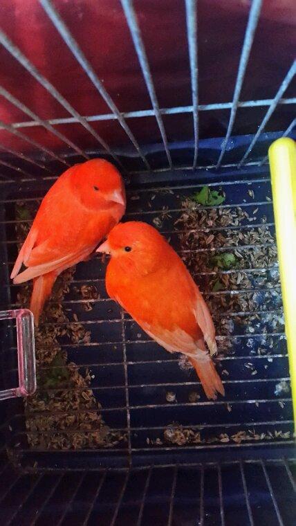 2 femelles en lipo rouge ( 1e schimmel et l autre intensive)