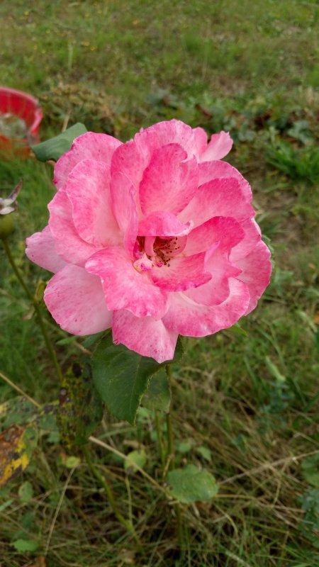 Champs de rose