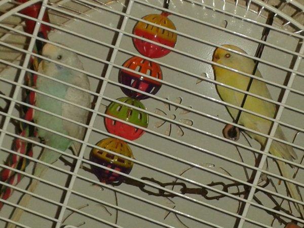 Mes perruches Fifi et Filou.