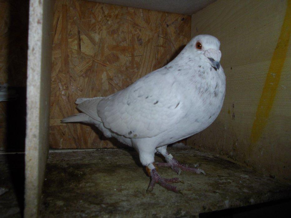 Pigeons Voyageurs !