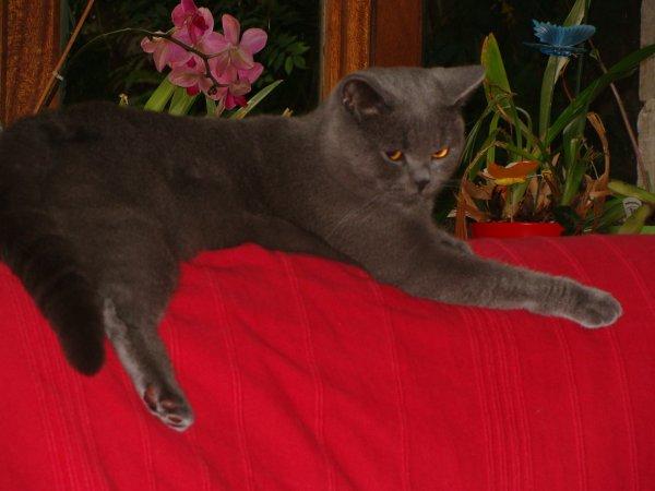 Fidji , fait la pose sur son endroit préféré le dessus du canapé !