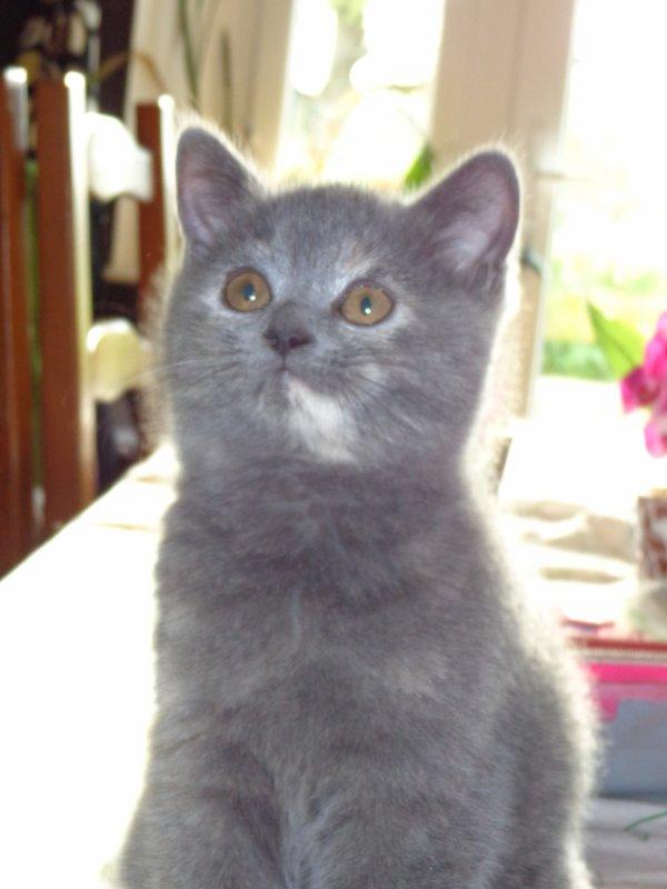 Isma, femelle bleu crème , disponible