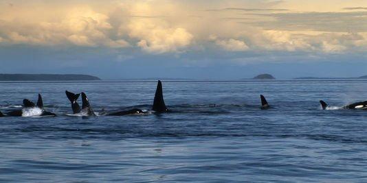 """""""Blackfish"""" lève le voile sur les conditions de vie des orques en captivité"""