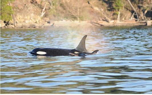 J-50, un bébé orque au comportement mystérieux
