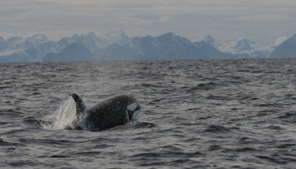 J'observe les orques depuis 16 ans. Les enfermer dans des parcs ne les sauvera pas