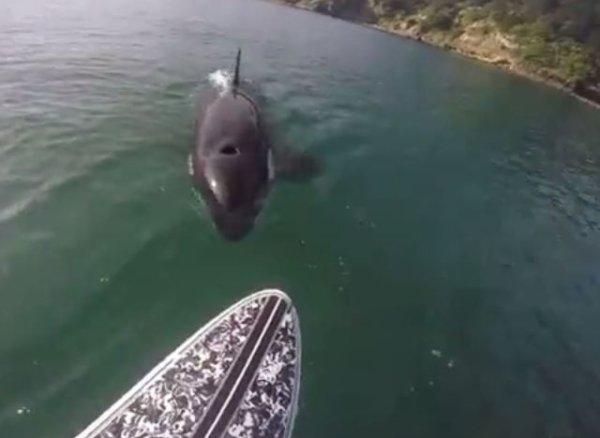 Quand une orque curieuse rend visite à un homme en paddle