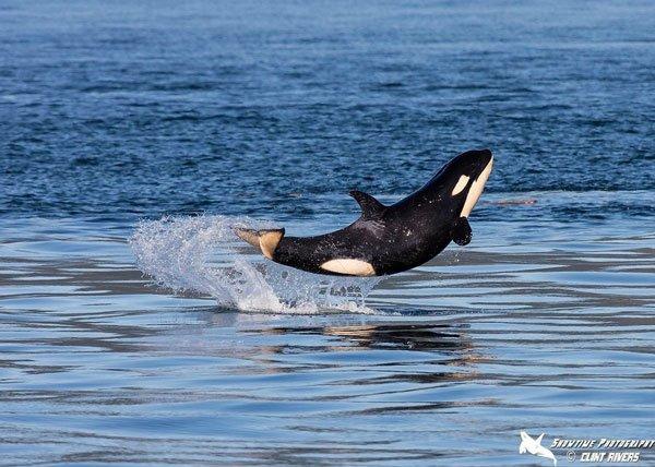 Le plouf d'une orque