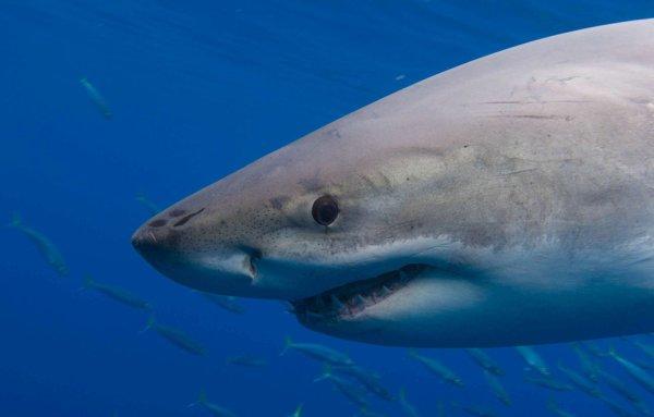 VIDEO. Un grand requin blanc saute sur le bateau d'un pêcheur