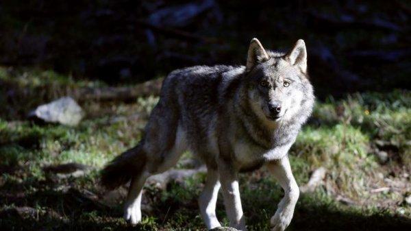 Elevage: l'écologiste José Bové s'en prend à nouveau au loup