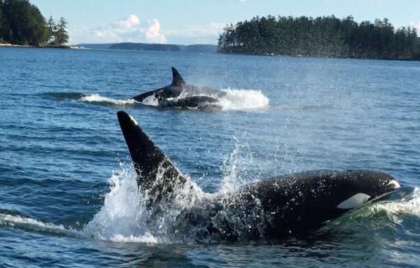 VIDEO. Bassin d'Arcachon: Des plongeurs filment leur rencontre avec des orques
