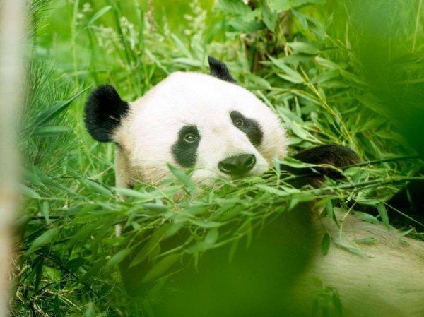 L'habitat du panda géant reste fragmenté et très réduit