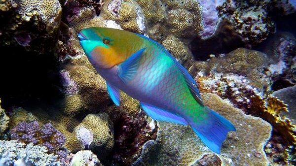 Le poisson-perroquet a la dent aussi dure que celle du requin