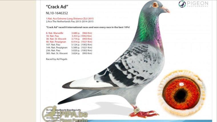 Un des meilleurs pigeons de grand fond