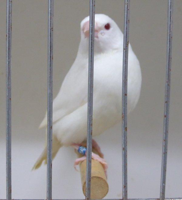 Gould Albinos blanc pur.