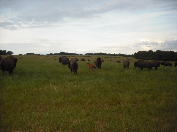 Fête du bison VALDIVIENNE 13 et 14 juin