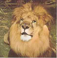 Clarence Der Schielende Löwe