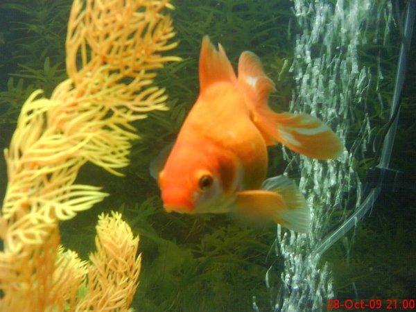Le poisson rouge queue de voile oriflamme carassius for Poisson rouge queue de voile