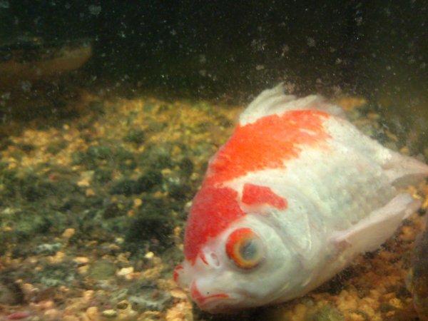 mes poissons voile de chine poisson mort voile de chine