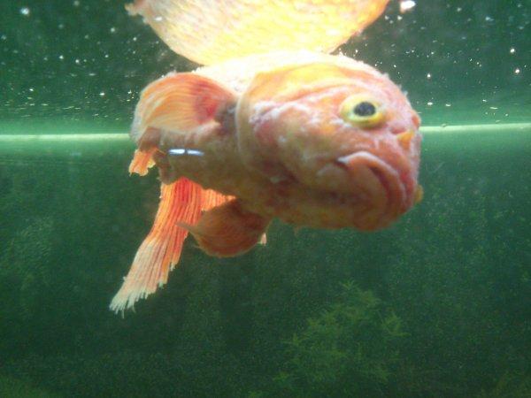 Mes poissons voile de chine poisson rouge mort voile for Poisson rouge queue de voile