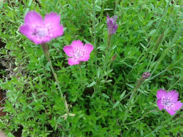 Encore quelques fleurs de jardins.