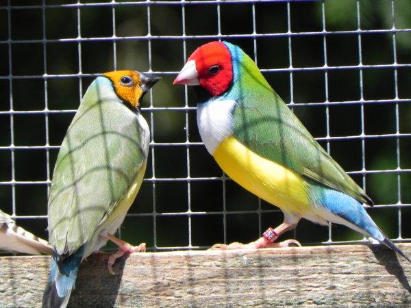 Diamant de gould tête rouge poitrine blanche mâle et femelle tête orange poitrine blanche.