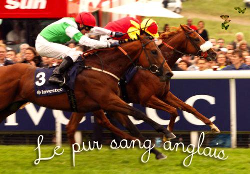 Race : Le pur sang Anglais.