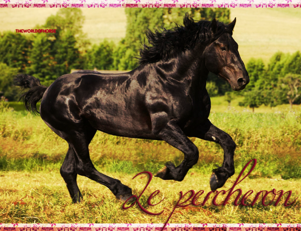 Race : Le Percheron