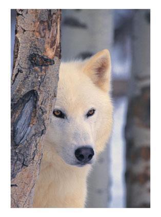 Le Loup-Garou.