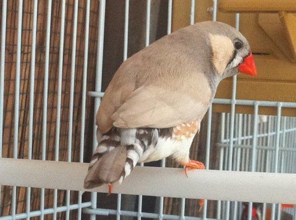 Couple femelle grise + mâle pastel + leurs 3 petits ( 7eme couple )