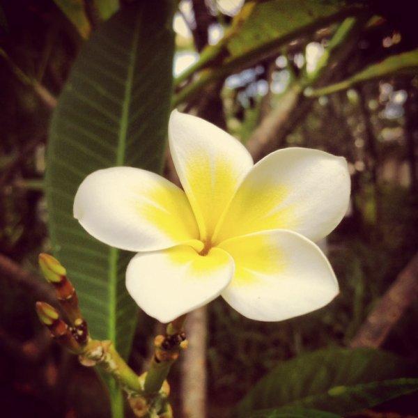 Fleur de l'île Maurice