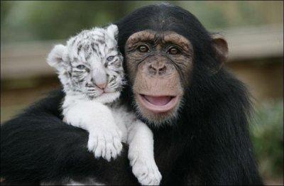 maman chimpanzé qui élève 2 tigron blanc en amérique dans un zoo