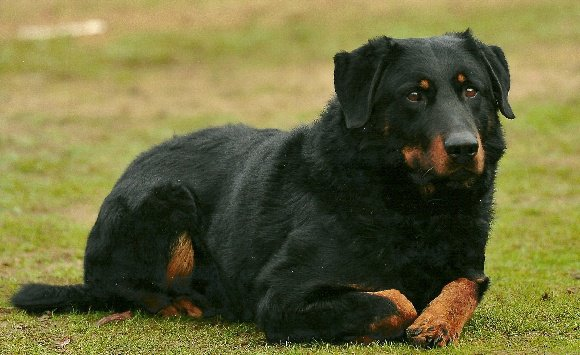 beauceron royale