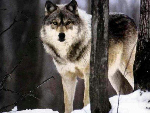 Pour mon pitit loup