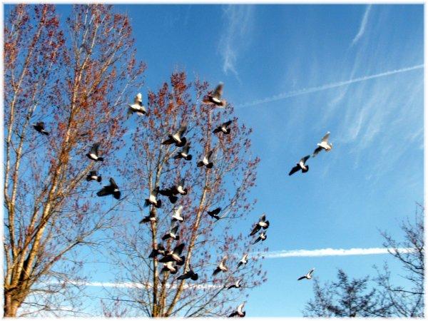 Les pigeons a papypigeon dans le beau ciel du nord un ciel très beau comme nulle par ailleurs dans le midi de la France ils n'ont pas le même  MDR !!!!!!!!!!!!!!
