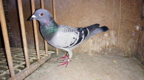 Pigeons à vendre (vendu à 5)