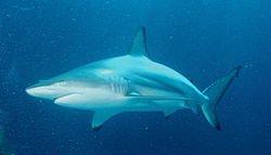 requin bordé