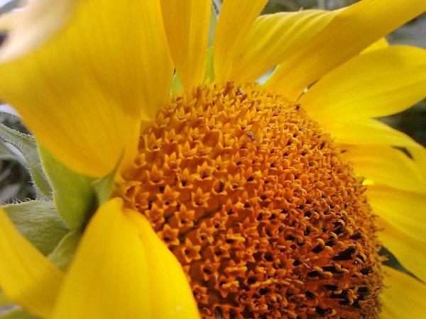 """""""Quand l'idéal se déplace, il faut bien qu'on s'oriente différemment.  Le tournesol reste fidèle au soleil."""" (Jean Rostand)"""