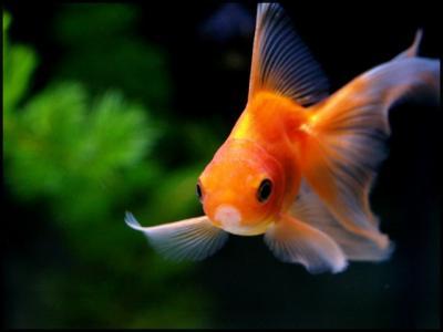 Petite info sur les poisson rouge la vie d 39 un poisson for Ou placer aquarium poisson rouge