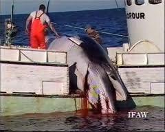 L'Islande sommée d'abandonner le massacre par 11 pays qui condamnent sa chasse à la baleine commerciale