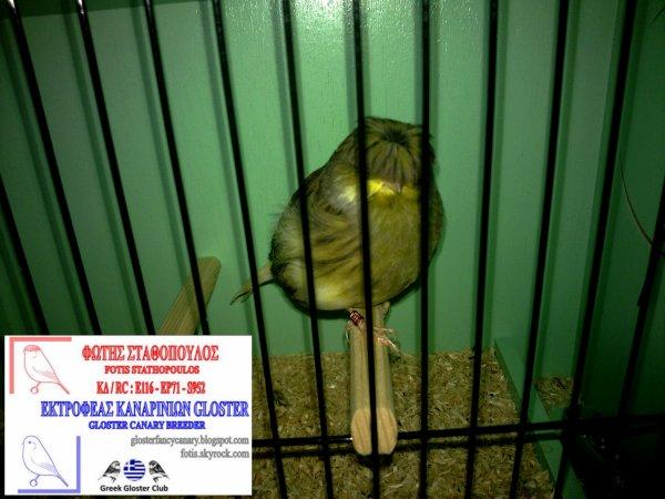 Green H. Vgd Buff corona cock 2012