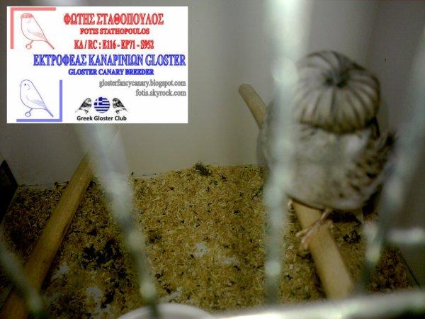 Blue Vgd buff corona cock still in moult 2012
