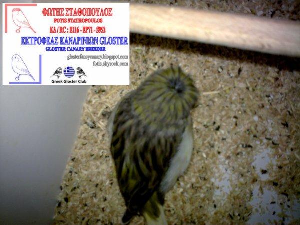 Green Vgd buff corona cocks 2012