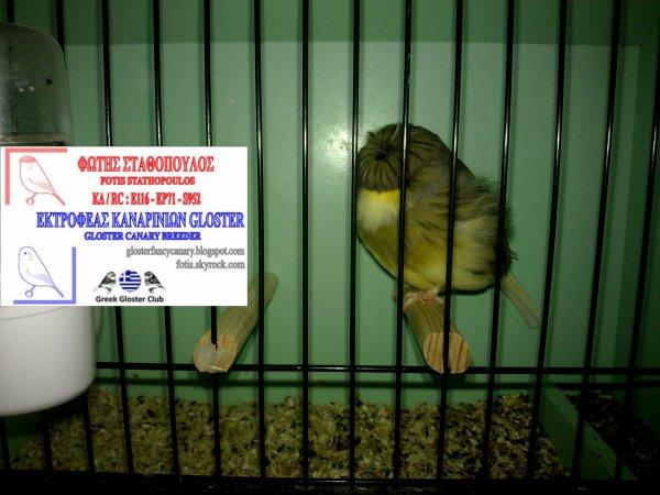 Green Vgd Buff Corona cock 2012
