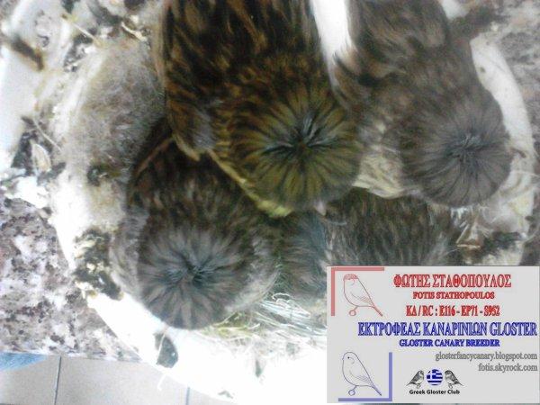 Corona nestlings 2013